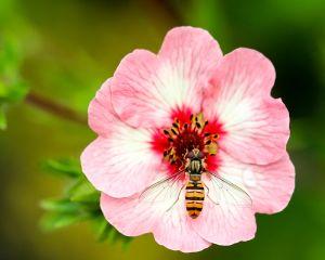 Un antiobitic de exceptie: pastura sau painea albinelor