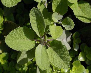 Ceaiul de salvie: top 7 beneficii uimitoare pentru sanatate si frumusete