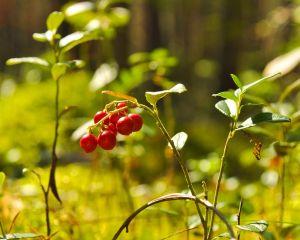 Sucul de merisoare, remediu natural pentru infectii urinare, diabet si boli cardiovasculare