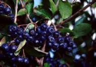 Fructele de padure Aronia: cele mai sanatoase fructe din lume