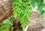 7 beneficii necunoscute ale plantei indiene moringa
