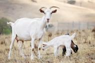 Este laptele de capra mai bun decat laptele de vaca? Iata o lista de beneficii pentru sanatate