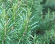 Rozmarinul, condiment si medicament naturist