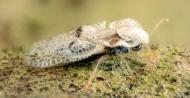 Tigrul platanului. Ce spun medicii despre efectele intepaturilor insectei