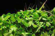 Beneficii ale plantei de schinduf