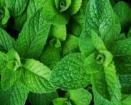 Menta, planta medicinala care face minuni pentru sanatatea ta